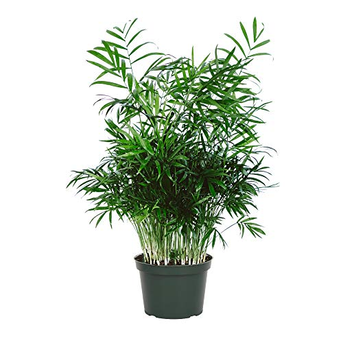 "American Plant Exchange Chamaedorea Elegans Parlour Palm Live Indoor Houseplant, 6"" Pot, Light Green Air Purifier"