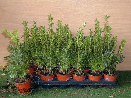 Buchsbaum Buxus sempervirens arborescens