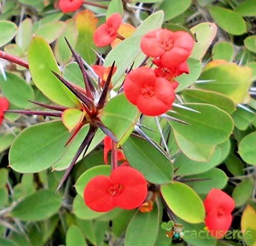 Portal Cool Samen Rosa Chinese Euphorbia Milii Bonsai Seltene Haus-Garten-Blumen-Töpfe Dekor