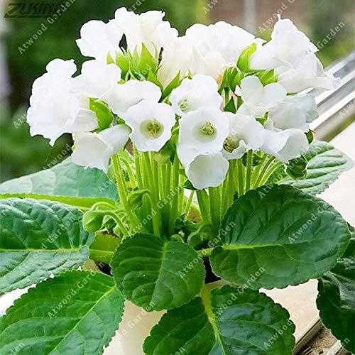 Sumpf frisch 200 PCS brasilianische Gloxinia-Blumensamen zum Pflanzen von Weiß