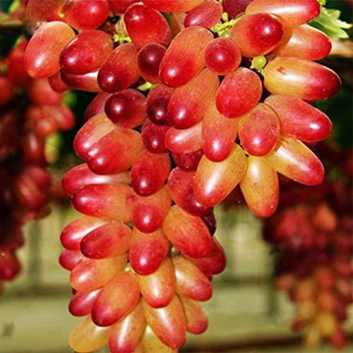 Beautytalk-Garten Bio Trauben Samen Tafel-Trauben Obst Saatgut Früchten Obstbäum ertragreiche Obstsamen