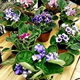 Four African Violet Plants - World's Best Blooming House Plant by JMBAMBOO