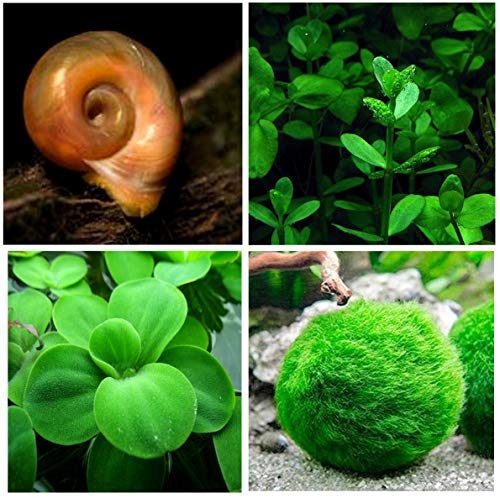 Aquatic Discounts - 5 Ramshorn Snails (Feeder/Cleaner), 1/6-1/3 inch - Plus 3 Kinds of Live Aquarium Plants - Bacopa (Background), Moss Ball (Bottom), Dw arf Water Let tu ce (Surface)! Betta Betta