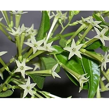 JASMINE - NIGHT BLOOMING - 1 LARGE PLANT - 8  POTTED PLANT