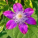 Bulbos de Clemátide,Especies Raras,Vale La Pena Plantar,Mundialmente Famoso,Exquisitas Flores Cortadas-5 Bulbos