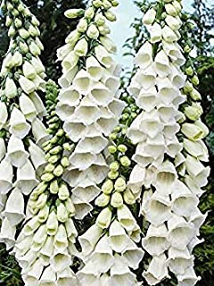 TOMHY Seeds Package: Germination Seeds PLATFIRM-50 Seeds of Foxglove Snow Thimble (Shade/)