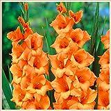 Flores decorativas mágicas,Gladiolos Bulbos,Increibles plantas ornamentales,Tesoros de jardinería al aire libre-11 Bulbos