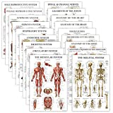 18 Pack - Anatomical Posters - Laminated - Muscular, Skeletal, Digestive, Respiratory, Circulatory, Endocrine, Lymphatic, Male & Female, Nervous, Spinal Nerves, Anatomy Charts - 18' x 27'