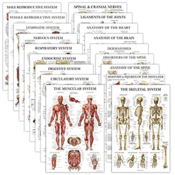 18 Pack - Anatomical Posters - Laminated - Muscular Skeletal Digestive Respiratory Circulatory Endocrine Lymphatic Male & Female Nervous Spinal Nerves Anatomy Charts - 18  x 27
