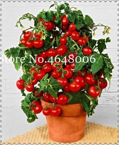 Bloom Green Co. 200 Piezas de Tomate Arcoiris Bonsai, Delicioso Tomate Cereza, Herida Vegetal Fruta Nutritiva Alta No Gmo Alimentos comestibles Plantas de Jardín: 22