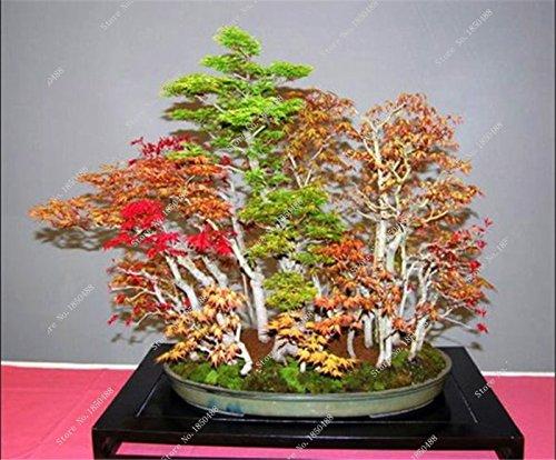 Bonsai Érable Graine feuille rouge vivace jardin Plantes ornementales pots de fleurs Flower Street 30 Pcs/sac