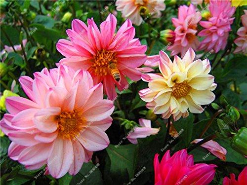 Double Dahlia Seed Mini Mary Fleurs Graines Bonsai Plante en pot bricolage jardin odorant Fleur, croissance naturelle de haute qualité 50 Pcs 15