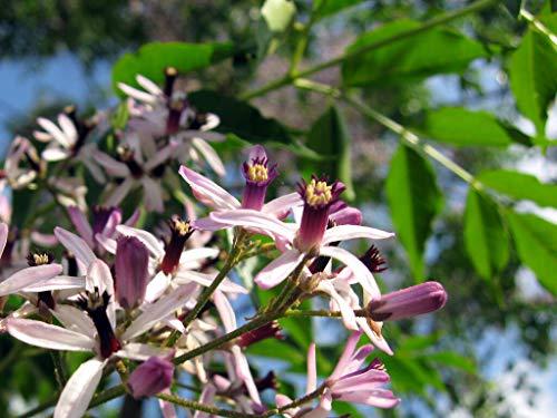 Seeds Chinaberry, Melia Azedarach, Tree 10 Seeds (Fast, Showy, Fragrant), Flower, Vine, Fruit, Tree, Shrub