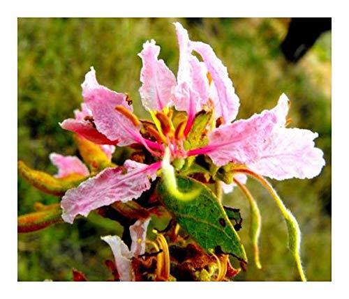 Bauhinia urbaniana - Bauhinia rose - 5 graines