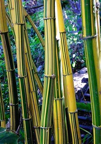 50 Jaune Green Bamboo graines Confidentialité Jardin des plantes agglomérante ombre écran exotique