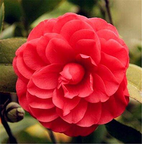 10 graines de Camellia Beaucoup Couleurs thé Big brousse fleurs bricolage Home-fleurs Bonsai Garden Potted plantes vivaces faciles à cultiver