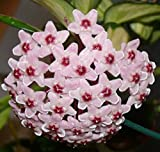 1 PIANTA di Hoya CARNOSA Tricolor Fiore di Cera Vaso 12CM Perenni