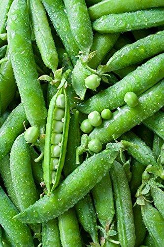 plissé Pea Gloriosa Graines - du Pois Sativa