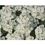 Arabis Caucasia 'Alabaster' – Berro de ganso caucásico – en maceta de 12 cm, resistente al invierno en calidad de jardinería de Blumen Eber – 12 cm