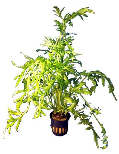 1 Topf Ceratopteris thalictroides, Feinblättriger Sumatrafarn, Aquarium-Pflanzen