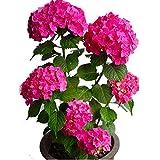 semi di fiori di ortensia rosa 20 pezzi perenni biologici freschi facili da coltivare piante semi di fiori per piantare giardino da giardino all'aperto al coperto