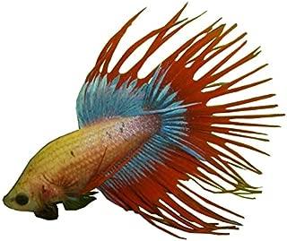 Aquarium Fish Sale Crowntail Betta - Male