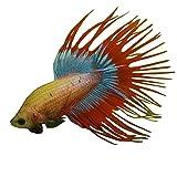 Crowntail Betta Male - Live Aquarium Tropical Fish