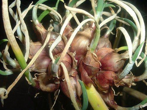 Heirloom Egyptian Walking Onions Prolific Reproducers NON GMO 20 Bulbils