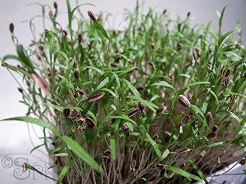 HONIC 200 - Seeds: Organic Bouquet Dill Microgreen Samen !! Ihr EIGENES Sprösslinge wachsen pikanter Geschmack !!!