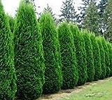 Tree Seeds - 50 AMERICIAN Arborvitae Tree Seeds Evergreen Property Border Thuja Cedar