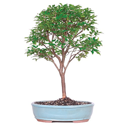 Brussel's Live Jaboticaba Indoor Bonsai Tree - 6 Years Old; 10' to 14' Tall with Decorative Container
