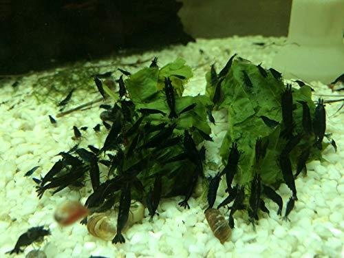Topbilliger Tiere Black Sakura Garnele Neocaridina davidi 5X