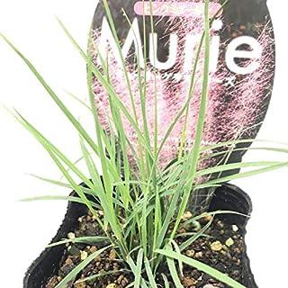 (株)赤塚植物園 ④ ピンクのほわほわが可愛い ミューリーグラス ピンクミューリー