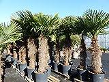 XXXXL 220-250 cm Trachycarpus fortunei Hanfpalme, winterharte Palme bis -18°C