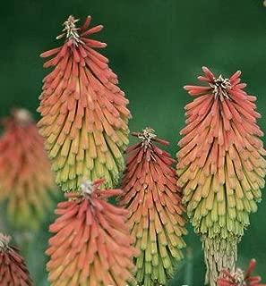 Kniphofia (Tritoma, Red Hot Poker) hirsuta Fire Dance 250 seeds