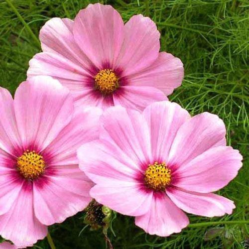 100 Cosmos « Gloria » Rose/Violet Eye - Les abeilles, papillons et graines pour les oiseaux