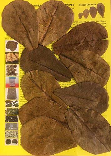 garnelenshop24de 10 Stück Original Seemandelbaumblätter 10cm Catappa Leaves - TOP Qualität - 10-1000 Stück (10)
