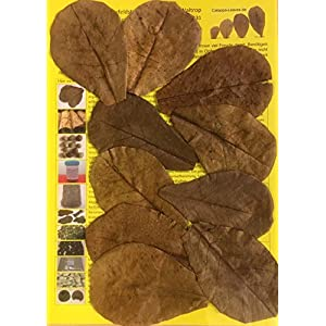 Original-Seemandelbaumbltter-10cm-Catappa-Leaves-TOP-Qualitt-10-1000-Stck-Ketapang-Indian-Almond