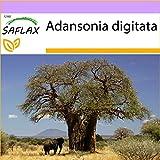 SAFLAX - Afrikanischer Affenbrotbaum - 6 Samen -...