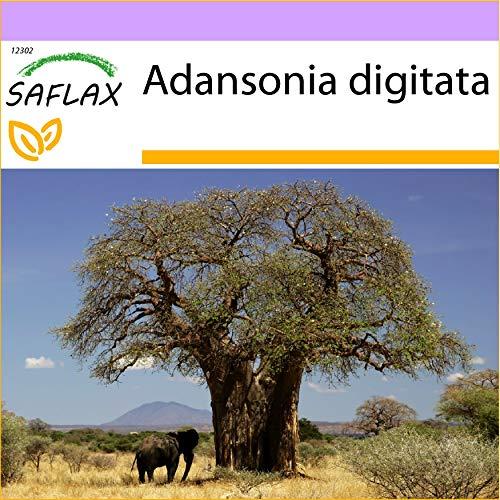 SAFLAX - Baobab africano - 6 semi - Adansonia digitata