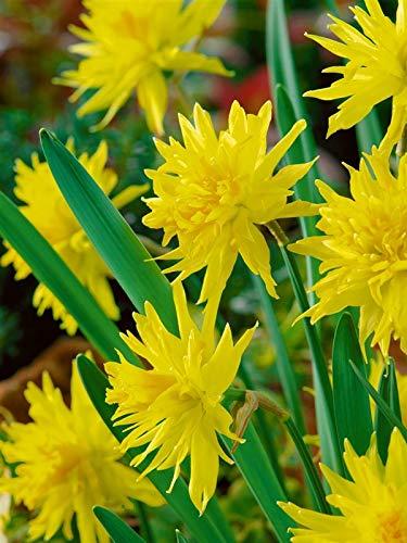 Keland Garten - 100pcs Rarität Alpenveilchen-Narzisse Osterglocke als Kübelpflanze, Bonsai Blumensamen Mischung winterhart mehrjährig im Bauerngarten
