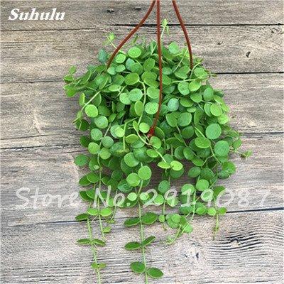 Pearl Chlorophytum Seeds 100 Pcs Hanging type de pot Chlorophytum Plantes fleuries Accueil Air frais intérieur Jardin résistant au froid 7