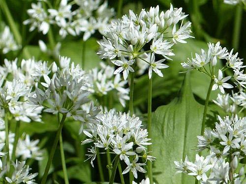 Allium ursinum - Ail des ours - 10 graines