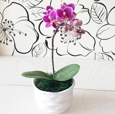 Fleur exotique Orchidée Graines Cattleya Multicolor Papillon Orchidee Bonsai Monoflord Mini jardin plante facile à cultiver 200 pcs/sac 5