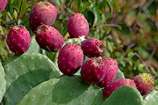 Mini Garden Spineless Thornless Edible Nopales Prickly Pear Cactus, 2 Medium Pads - Easy GRO