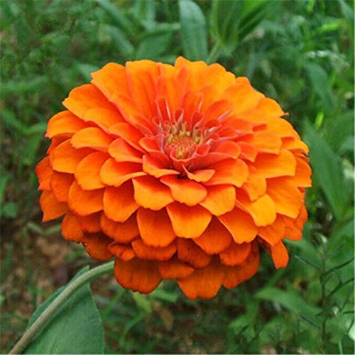 Ferry 50pcs Seltene Zinnia Bonsai Staude Blütenpflanzen Topfgarten-Blumen-Blüte g Chinesische Blumen-Garten-Dekoration: Mehrfarbig