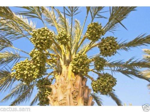 15 Medjool Date Palm Seeds,Pits,Phoenix Dactylifera大型水果Mejhool日期