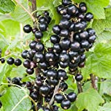 zumari 25 semillas de plantas de grosella negra.