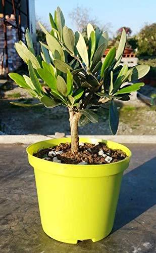 Olivenbaum - Olea Europea Stämmchen 20...