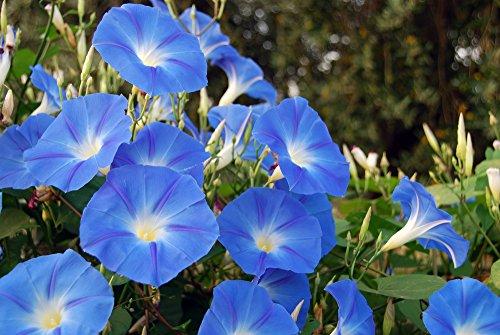 Edel-Trichterwinde blau Prunkwinde 20 Samen, Ipomea Samen-großen, seidigen Blüten (Ipomea Tricolor)